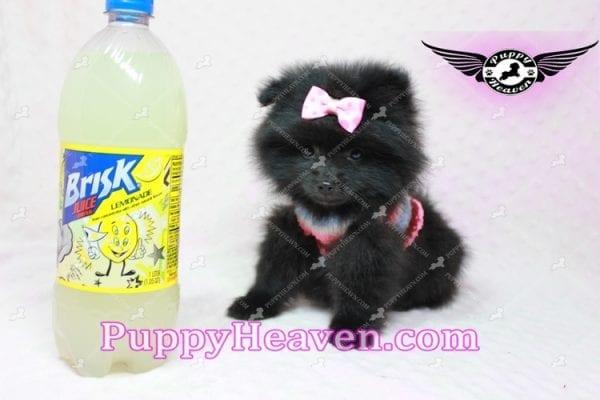 Amber - Teacup Pomeranian Puppy -0