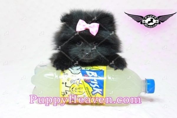 Amber - Teacup Pomeranian Puppy -10888