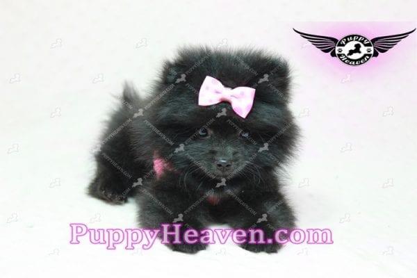 Amber - Teacup Pomeranian Puppy -10892