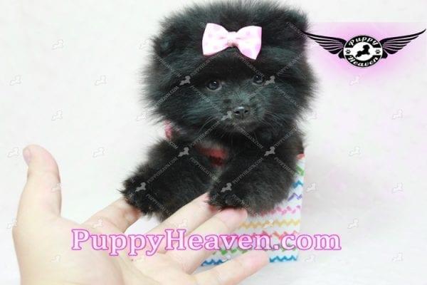 Amber - Teacup Pomeranian Puppy -10893