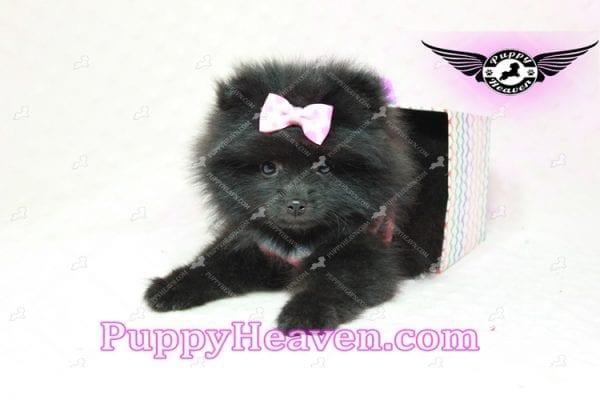 Amber - Teacup Pomeranian Puppy -10890