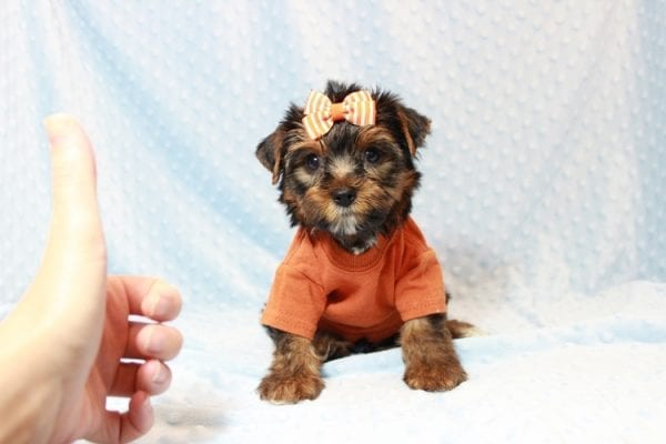 American Eagle - Teacup Yorkie Puppy has found a good loving home with Veronica from Mesquite, NV 89027-11706