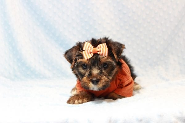 American Eagle - Teacup Yorkie Puppy has found a good loving home with Veronica from Mesquite, NV 89027-11707