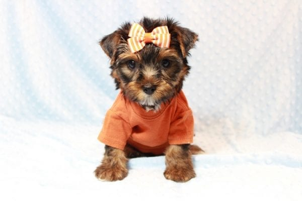 American Eagle - Teacup Yorkie Puppy has found a good loving home with Veronica from Mesquite, NV 89027-11703