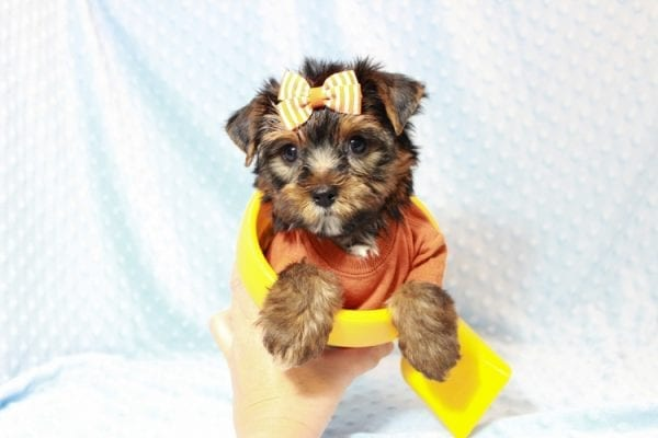 American Eagle - Teacup Yorkie Puppy has found a good loving home with Veronica from Mesquite, NV 89027-11705