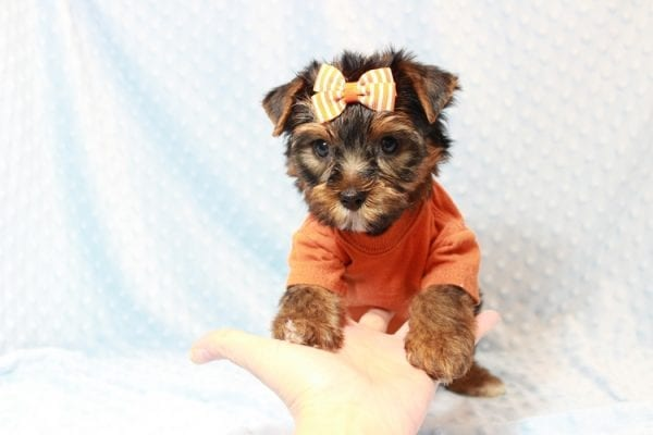 American Eagle - Teacup Yorkie Puppy has found a good loving home with Veronica from Mesquite, NV 89027-11708