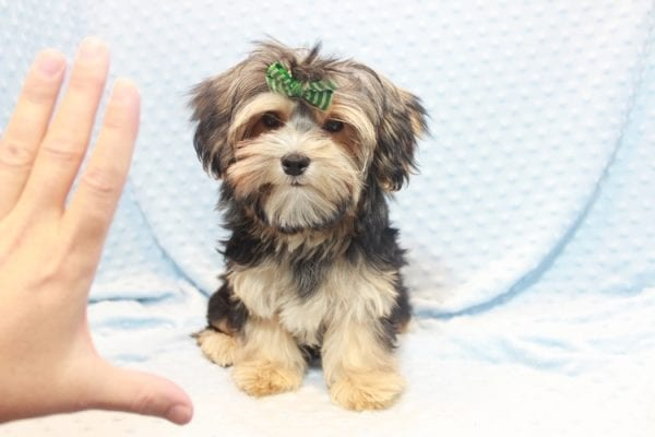 Axl Rose - Teacup Morkie Puppy has found a good loving home with Carol from Henderson, NV 89012-0