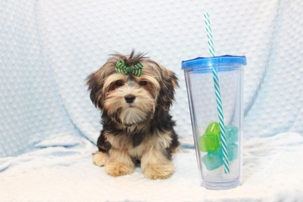 Axl Rose - Teacup Morkie Puppy has found a good loving home with Carol from Henderson, NV 89012-11698