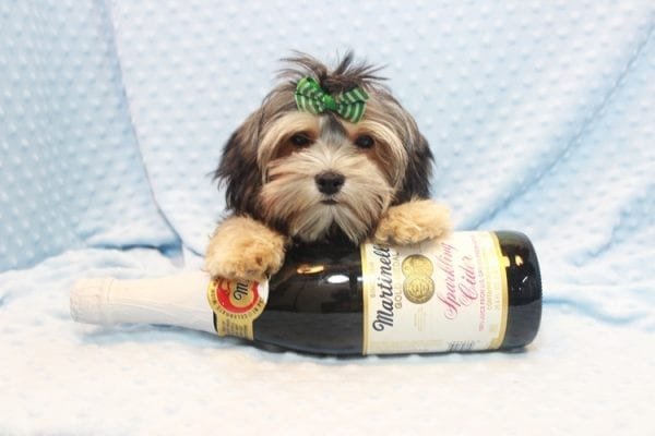 Axl Rose - Teacup Morkie Puppy has found a good loving home with Carol from Henderson, NV 89012-11701