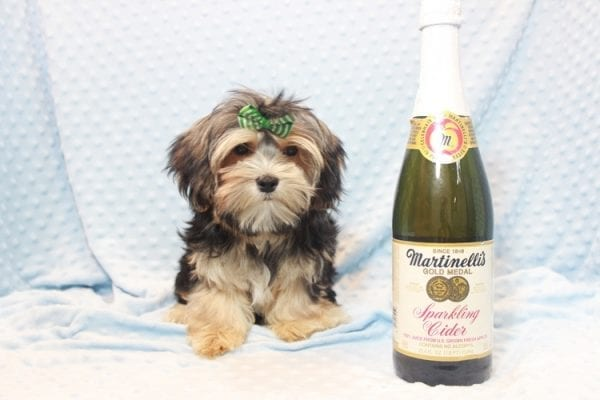 Axl Rose - Teacup Morkie Puppy has found a good loving home with Carol from Henderson, NV 89012-11697