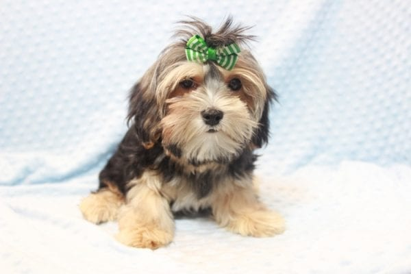 Axl Rose - Teacup Morkie Puppy has found a good loving home with Carol from Henderson, NV 89012-11700