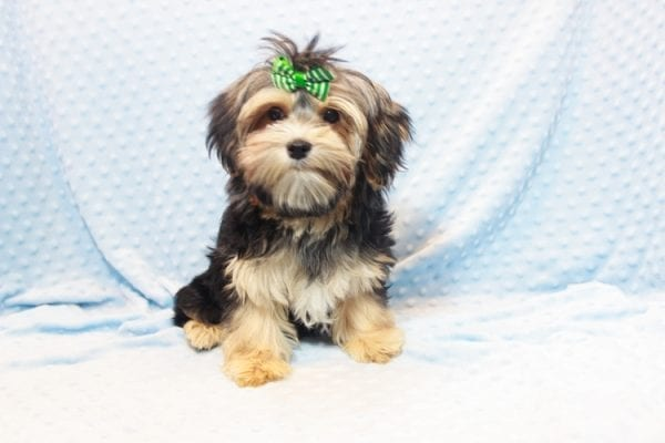 Axl Rose - Teacup Morkie Puppy has found a good loving home with Carol from Henderson, NV 89012-11696