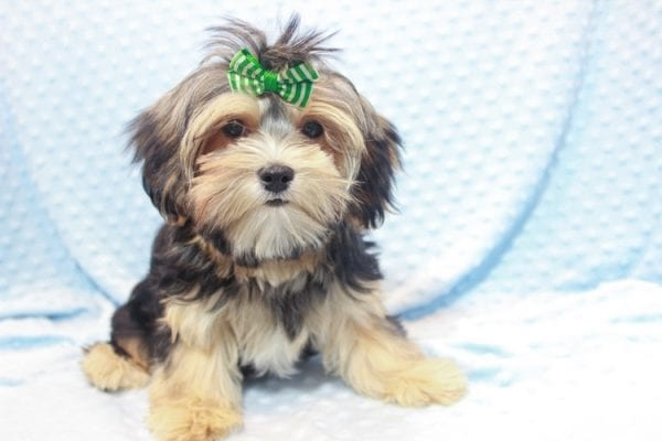 Axl Rose - Teacup Morkie Puppy has found a good loving home with Carol from Henderson, NV 89012-11699