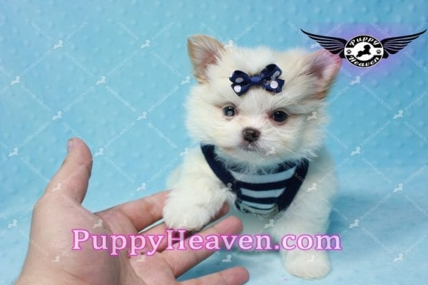 Bambi - Teacup Pomshi Puppy -10991