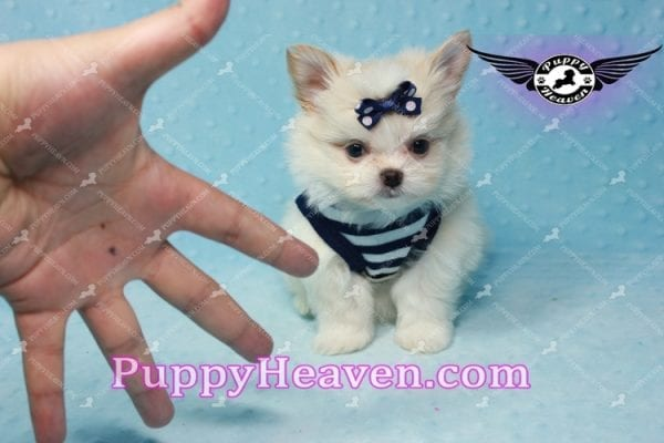 Bambi - Teacup Pomshi Puppy -10993