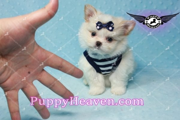 Bambi - Teacup Pomshi Puppy -10990