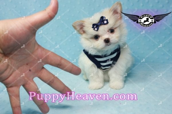 Bambi - Teacup Pomshi Puppy -10997