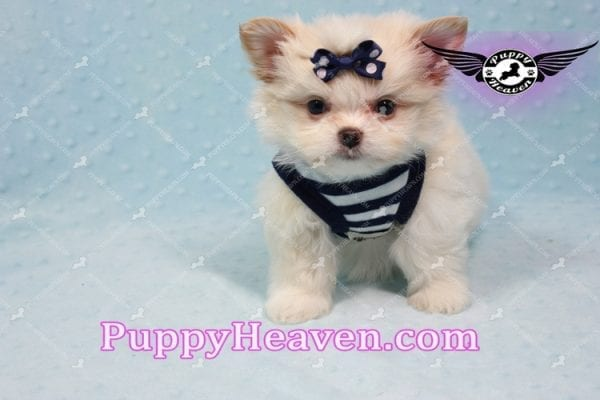 Bambi - Teacup Pomshi Puppy -10998