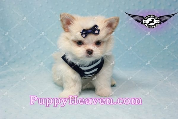 Bambi - Teacup Pomshi Puppy -10995