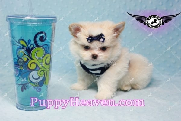 Bambi - Teacup Pomshi Puppy -10994