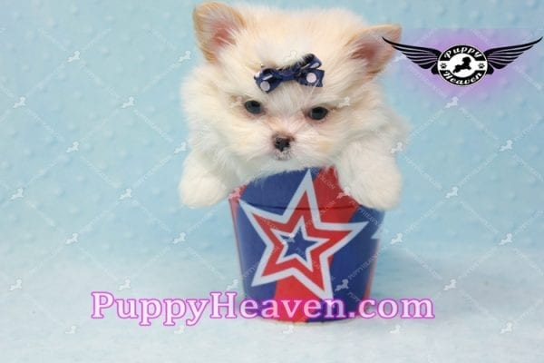 Bambi - Teacup Pomshi Puppy -11000