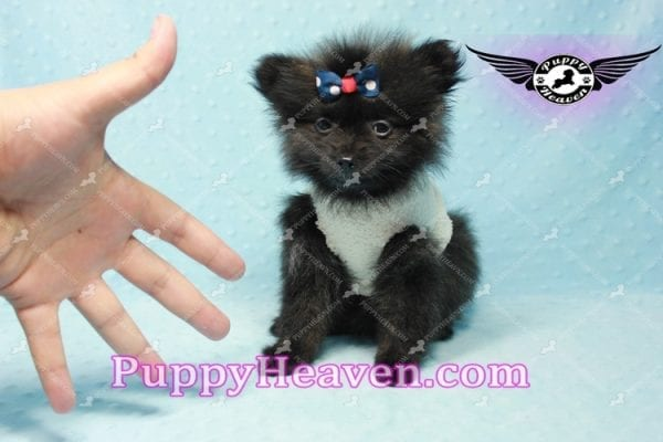 Batman - Teacup Pomeranian Puppy In L.A Found A New Loving Home with Miguel From Sylmar CA-11201