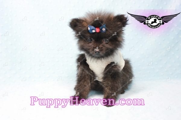 Batman - Teacup Pomeranian Puppy In L.A Found A New Loving Home with Miguel From Sylmar CA-11202