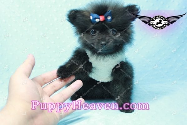 Batman - Teacup Pomeranian Puppy In L.A Found A New Loving Home with Miguel From Sylmar CA-11205