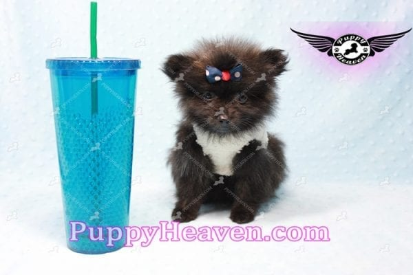 Batman - Teacup Pomeranian Puppy In L.A Found A New Loving Home with Miguel From Sylmar CA-0