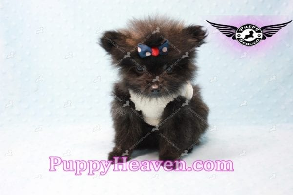Batman - Teacup Pomeranian Puppy In L.A Found A New Loving Home with Miguel From Sylmar CA-11200