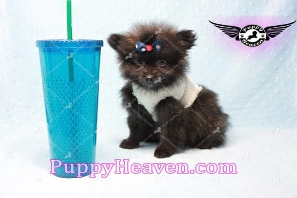 Batman - Teacup Pomeranian Puppy In L.A Found A New Loving Home with Miguel From Sylmar CA-11203