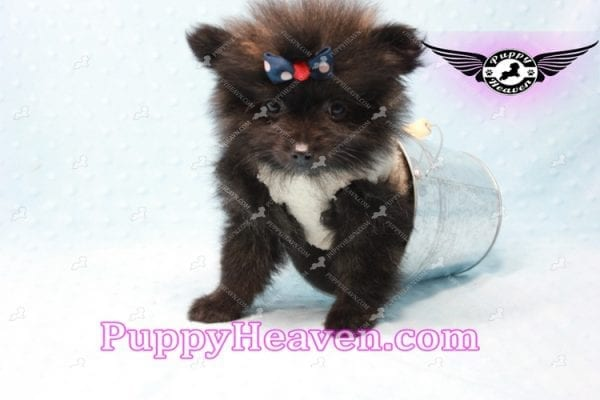 Batman - Teacup Pomeranian Puppy In L.A Found A New Loving Home with Miguel From Sylmar CA-11204