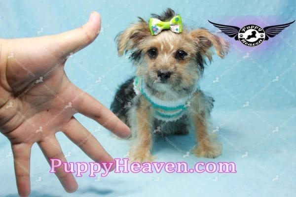 Big Boy - Toy Yorkie Puppy Found A New Loving Home with Jeovnna From South Gate CA-11164