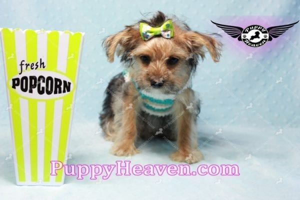 Big Boy - Toy Yorkie Puppy Found A New Loving Home with Jeovnna From South Gate CA-11163