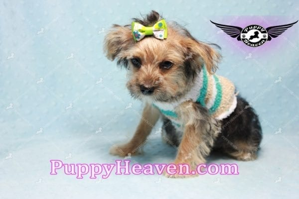 Big Boy - Toy Yorkie Puppy Found A New Loving Home with Jeovnna From South Gate CA-11162