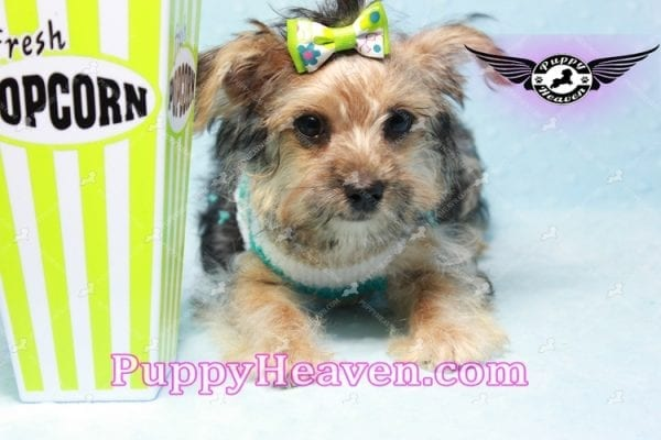Big Boy - Toy Yorkie Puppy Found A New Loving Home with Jeovnna From South Gate CA-11165