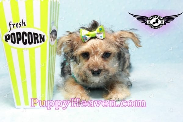 Big Boy - Toy Yorkie Puppy Found A New Loving Home with Jeovnna From South Gate CA-11166