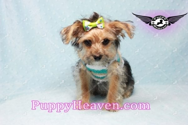 Big Boy - Toy Yorkie Puppy Found A New Loving Home with Jeovnna From South Gate CA-0