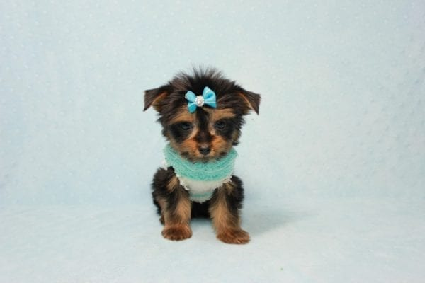 Buddy - Teacup Yorkie Puppy has found a good loving home with Ramak from Las Vegas, NV 89108-11316