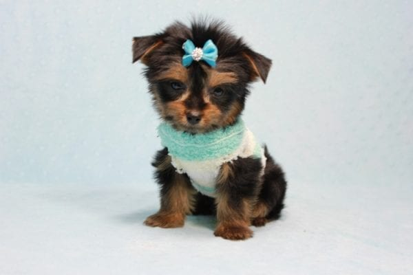 Buddy - Teacup Yorkie Puppy has found a good loving home with Ramak from Las Vegas, NV 89108-11312