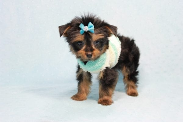 Buddy - Teacup Yorkie Puppy has found a good loving home with Ramak from Las Vegas, NV 89108-11311