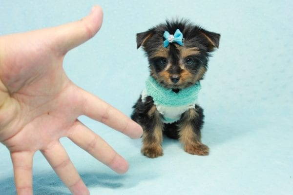 Buddy - Teacup Yorkie Puppy has found a good loving home with Ramak from Las Vegas, NV 89108-11317