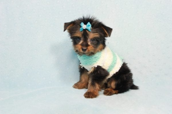 Buddy - Teacup Yorkie Puppy has found a good loving home with Ramak from Las Vegas, NV 89108-11315