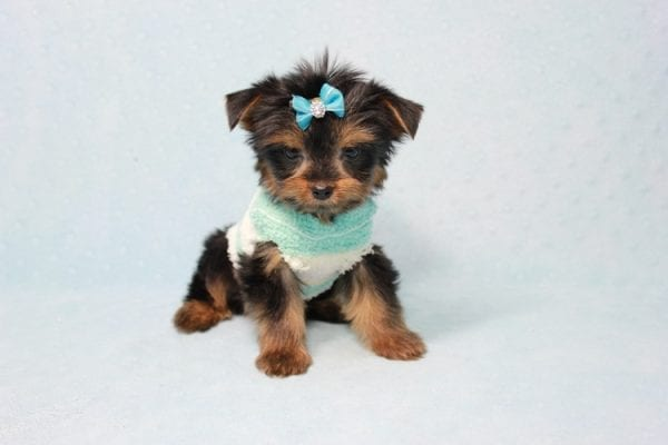 Buddy - Teacup Yorkie Puppy has found a good loving home with Ramak from Las Vegas, NV 89108-11305