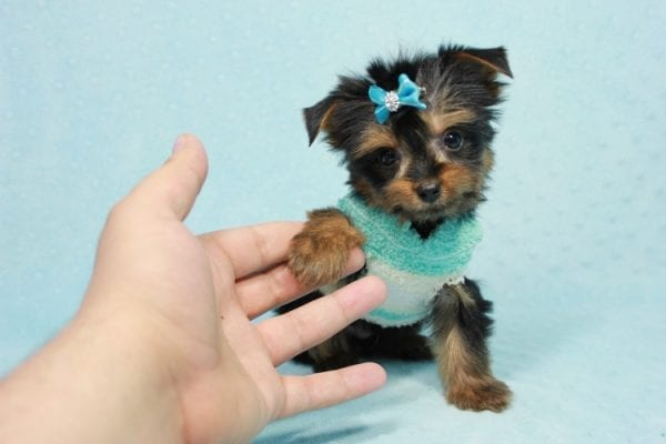 Buddy - Teacup Yorkie Puppy has found a good loving home with Ramak from Las Vegas, NV 89108-11310