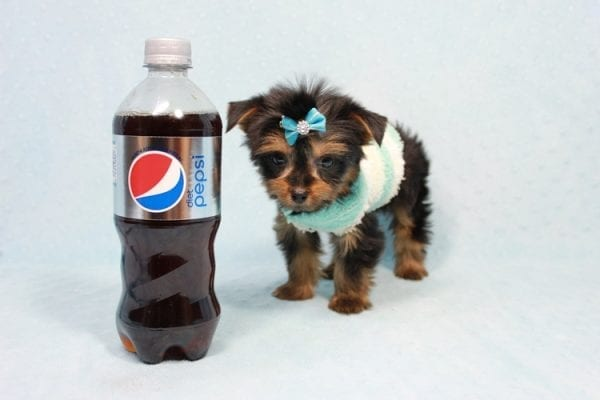 Buddy - Teacup Yorkie Puppy has found a good loving home with Ramak from Las Vegas, NV 89108-11308
