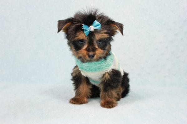 Buddy - Teacup Yorkie Puppy has found a good loving home with Ramak from Las Vegas, NV 89108-11309