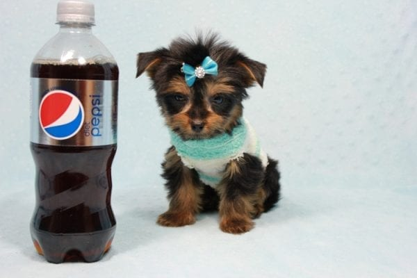 Buddy - Teacup Yorkie Puppy has found a good loving home with Ramak from Las Vegas, NV 89108-0