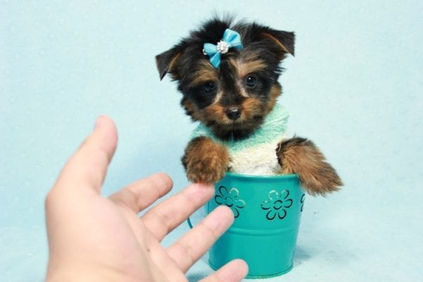 Buddy - Teacup Yorkie Puppy has found a good loving home with Ramak from Las Vegas, NV 89108-11307