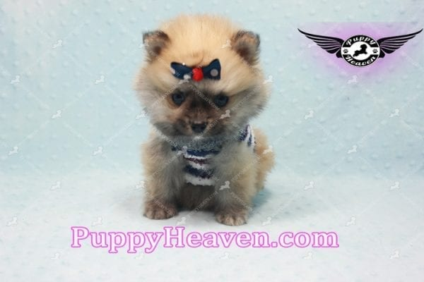 Chico - Teacup Pomeranian Puppy -10801